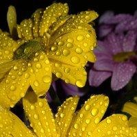 Хризантема в каплях :: ~ Елена М ~