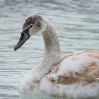 Лебедь :: Сергей Форос