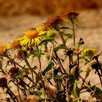1 октября - последняя жужа на цветке... :: Александр Прокудин