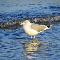 Чайки на море - серебристая чайка :: Маргарита Батырева