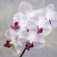 Орхидея фаленопсис Аннаполис :: Ирина Приходько