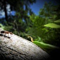 Из жизни муравьев :: Валерий Талашов