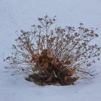 Икебана на снегу.... :: Tatiana Markova