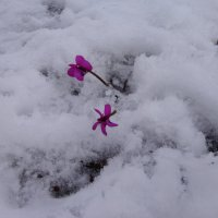 Ранние цветочки :: Надежда
