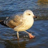 Чайки на море - серая чайка :: Маргарита Батырева
