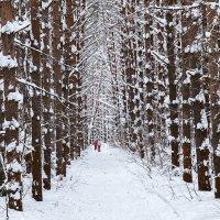 Лыжня между сосен :: Леонид Никитин