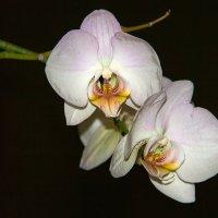 орхидеи. :: Валентина Домашкина