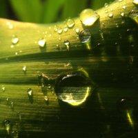 талия у растения :: Роза Бара