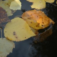 листья на воде :: Александр Попков