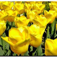 тюльпаны. :: Ivana