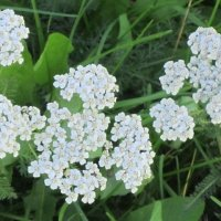Белые цветочки :: Дмитрий Никитин