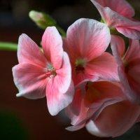 цветок герани в январе :: Peteris Kalmuks