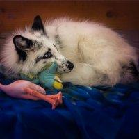 Лисёнок с любимой игрушкой :: Rost Pri (PROBOFF-RO) Прилуцкий Ростислав