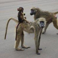 Семейка бабуинов :: Julia A
