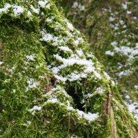 Снежок на мягком мху :: Kapris VS