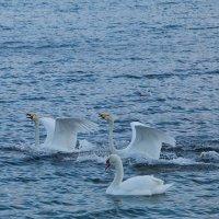 море и лебеди :: Игорь Гарагуля