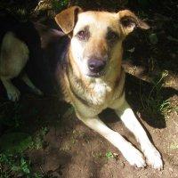 Добрая дачная собака (общественная) :: татьяна