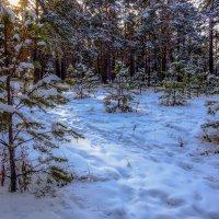 Утро в сосновом лесу. :: Rafael