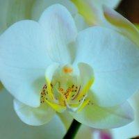 Орхидея. :: Оля Богданович