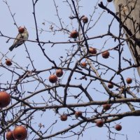 Зимние райские яблочки для птичек! :: Ольга Кривых
