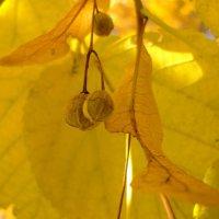 Липовое семя :: Svetlana Lyaxovich