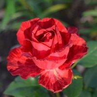 роза :: Катя