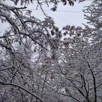 Переплетение заснеженных ветвей :: Нина Корешкова