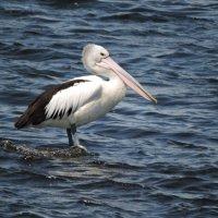 Australian Pelican :: чудинова ольга
