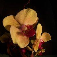 Орхидея :: Руслан