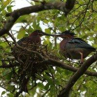 Green Heron  (зелёная цапля) :: Naum