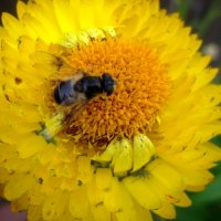 Пчелка за работой :: Svetlana Lyaxovich