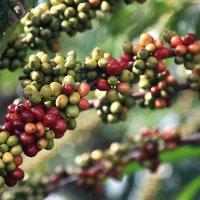 Кофейная плантация :: Татьяна Панчешная