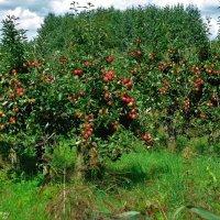 Яблоневый сад :: Nina Yudicheva