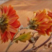 Обиженные хризантемы :: Нина Корешкова