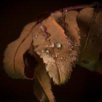 Рябиновые слезы... :: Sergey Apinis