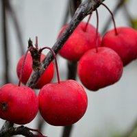 Райские яблоки :: Милешкин Владимир Алексеевич