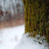 Снежный мох :: Anastasia K.