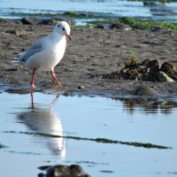 Brown-hooded Gull :: чудинова ольга