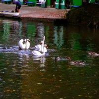 Лодочник и лебеди :: Nina Yudicheva