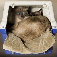 В тесноте, да не в обиде или братская любовь-из серии Кошки очарование мое! :: Shmual Hava Retro