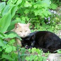 Кот и кошка :: Incognito X