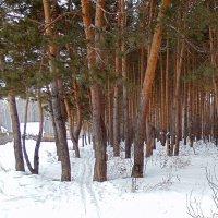Лыжня в лессу. :: Мила Бовкун