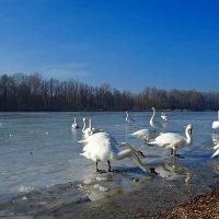 Лебеди  с реки вернулись на озеро... :: Galina Dzubina