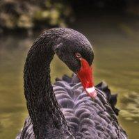 Чёрный лебедь :: Денис Качанов