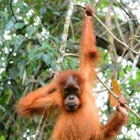 Молодой орангутанг. Суматра :: Юрий Белоусов
