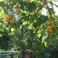 Любимые абрикосы :: Svetlana Lyaxovich