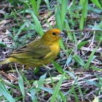 Saffron Finch :: чудинова ольга