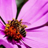 Обычный день пчелы :: Niki_ Nik