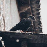 одинокий голубь... :: Артём Голов