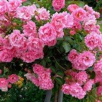 Розовый куст :: Nina Yudicheva